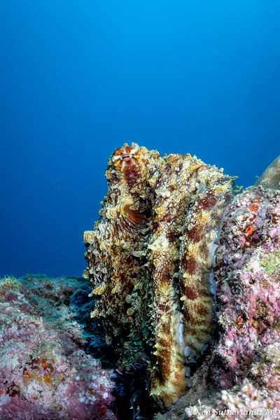 Bumpy Octopus