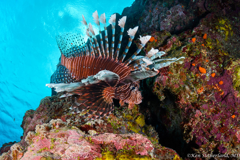 Lion fish on Lion Wall