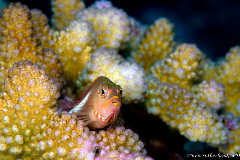 Arceye Hawkfish in coral