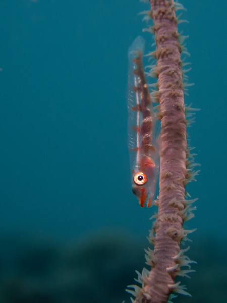 Goby on Whip Coral