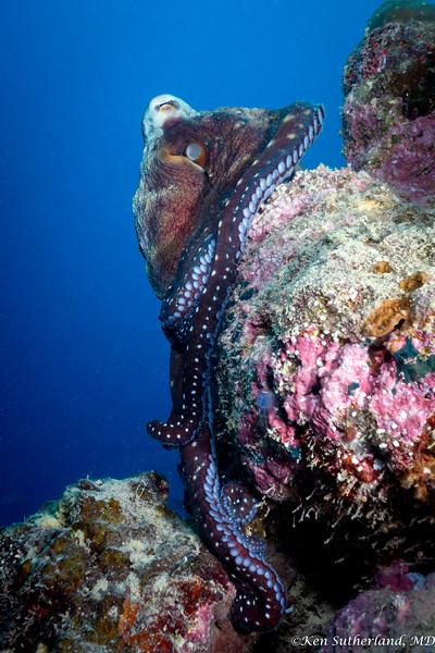 Full Octopus