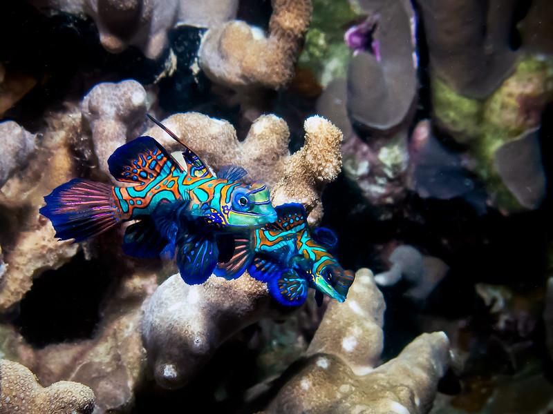 Cuddling Mandarin fish