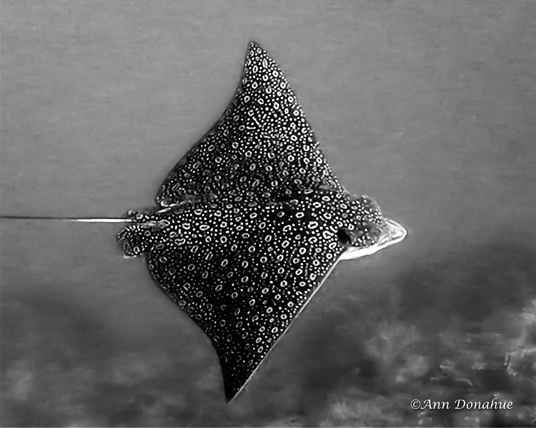 Flight Path of an Eagle Ray