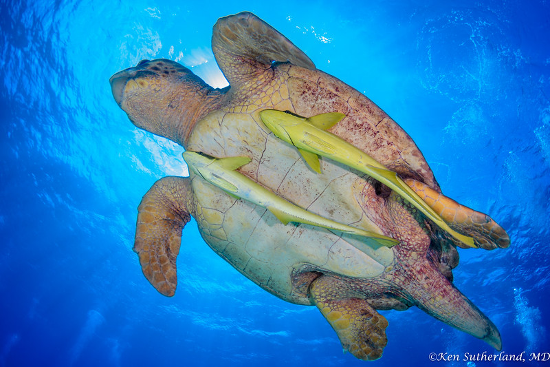 Loggerhead turtle and Remoras