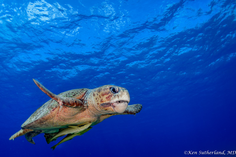 Loggerhead Turle on a mission