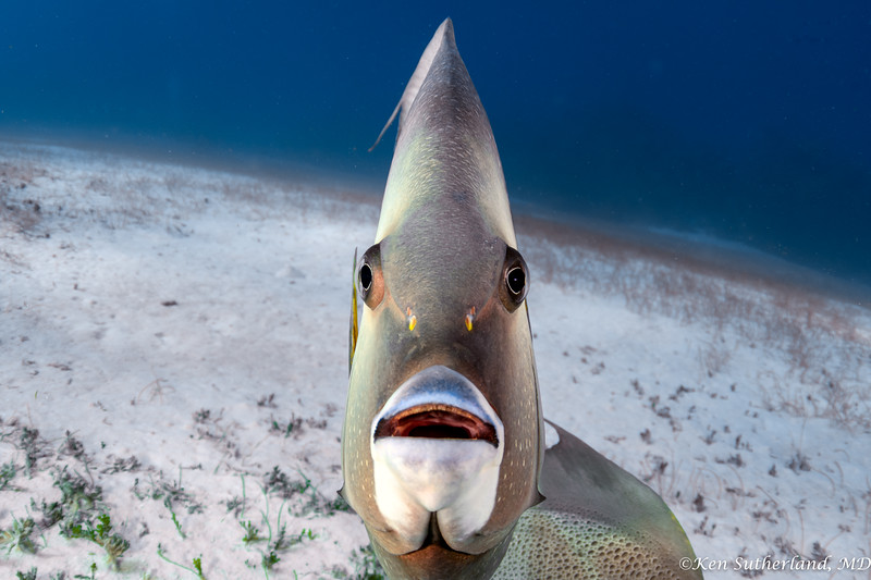 Grey Angel fish face