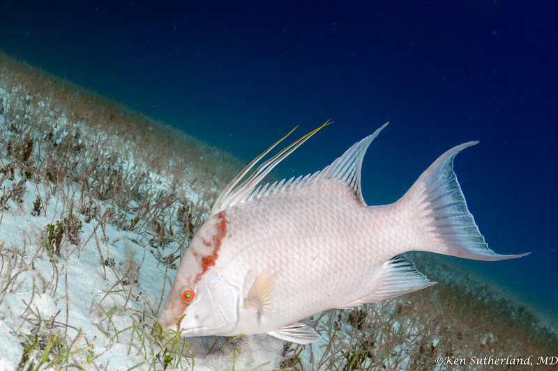 Hogfish intermediate phase