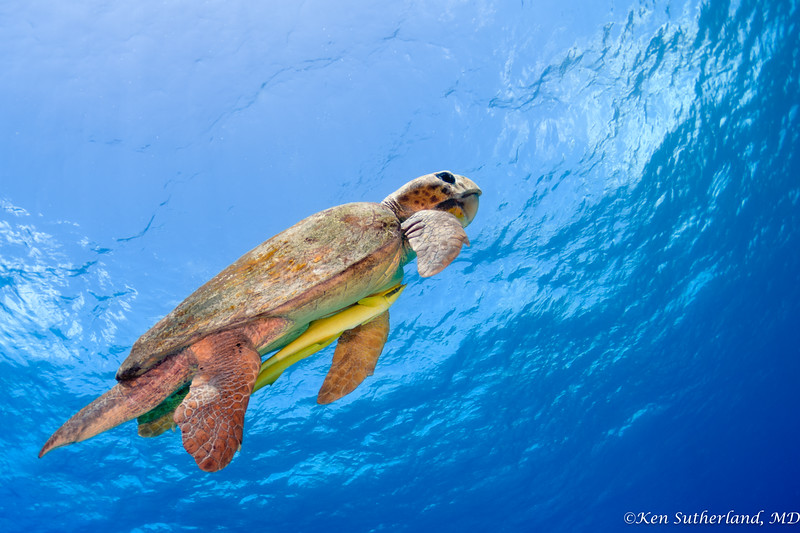 Loggerhead turtle heading to the surface