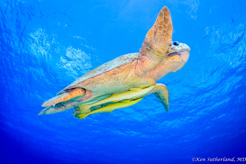 Loggerhead Turtle in flight