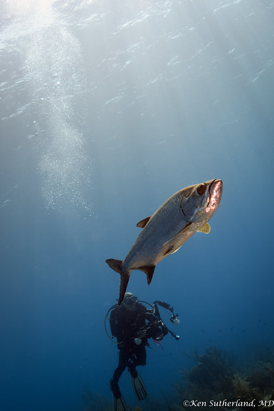 Tarpon and Diver