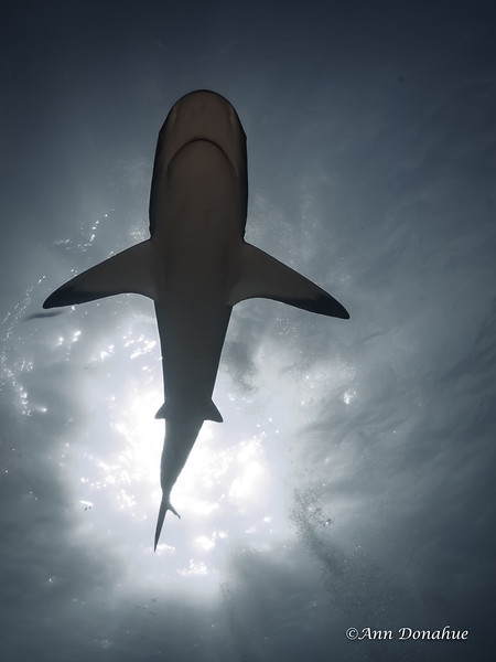 Reef Shark Silhouette