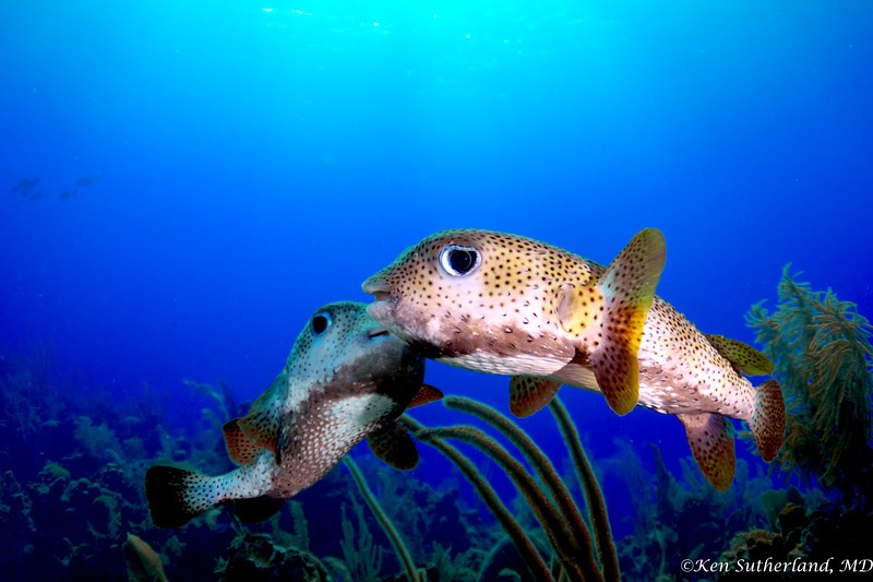 Porcupine Fish Love