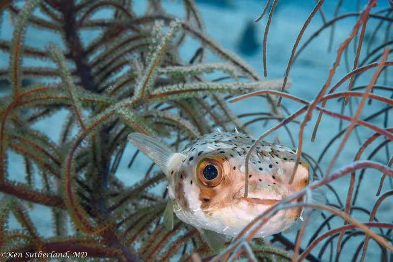 Porcupine Fish Hiding