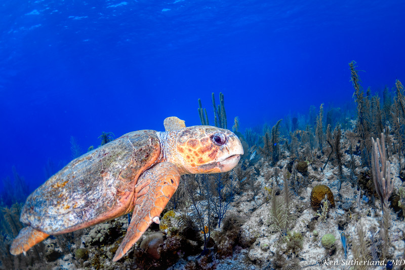 Loggerhead Turtle grazing on the reef
