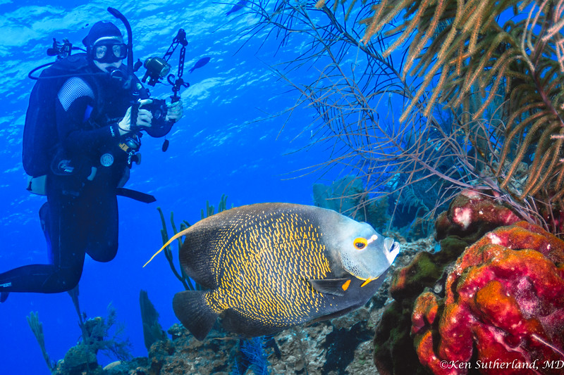 French Angelfish and diver