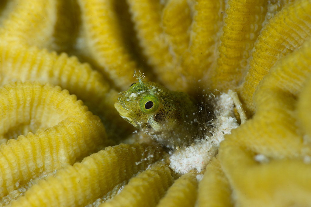 Spinyhead Blenny in Brain Coral