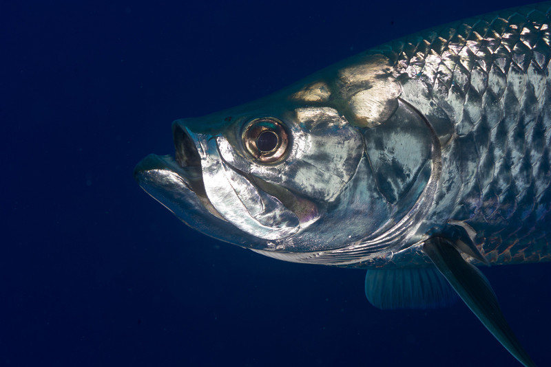 Head shot of a Tarpon