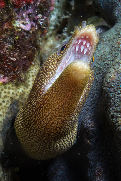 Goldentail Moray Eel- 3rd place prize in Point and Shoot Category- Digital Shootout-2013