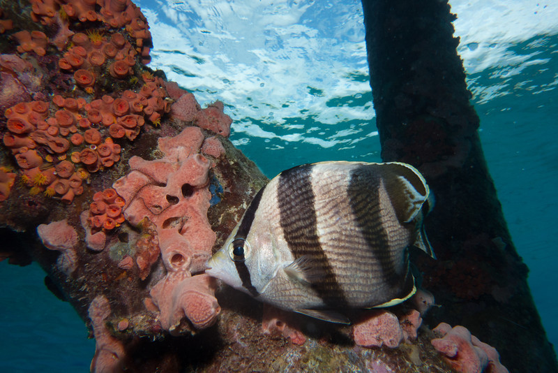 Banded Butterfly Fish under the town pier
