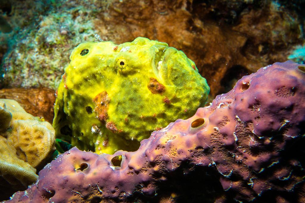 Yellow Longlure Frogfish
