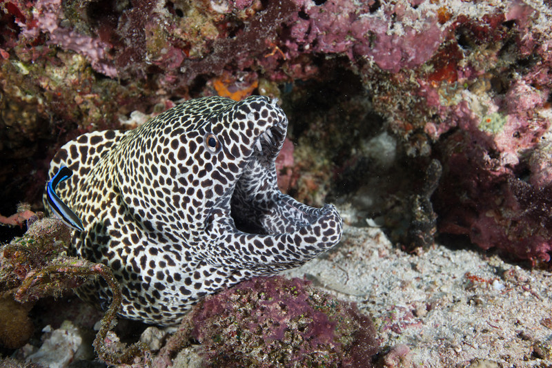 Honeycomb Moray Eel being cleaned