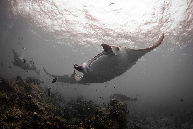 A train of Mantas