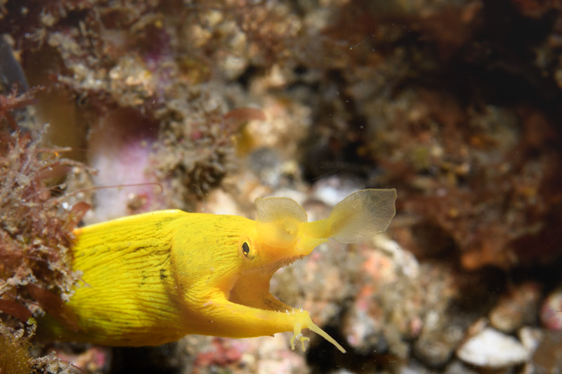 Ribbon Eel Yellow Phase