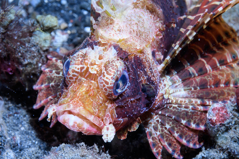 Dwarf Lion fish