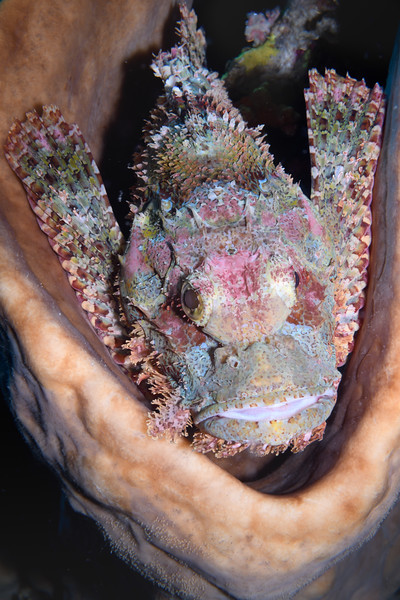 Scorpion Fish in Sponge