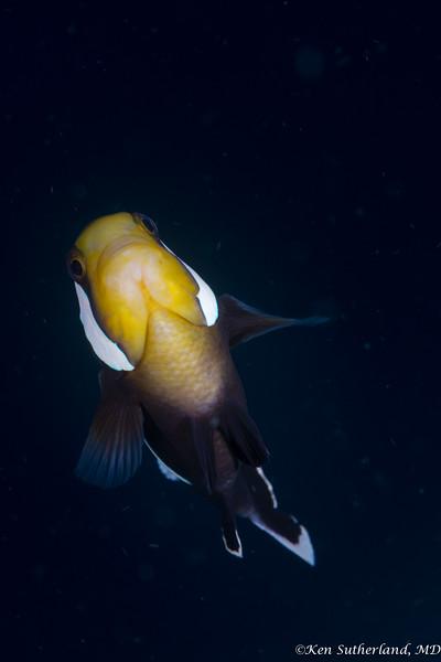Panda Anemone fish