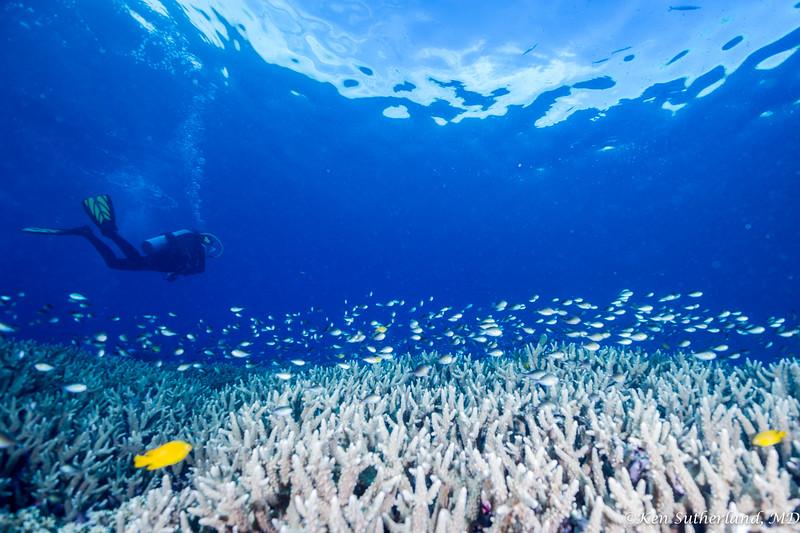 Diver over Acropora coral