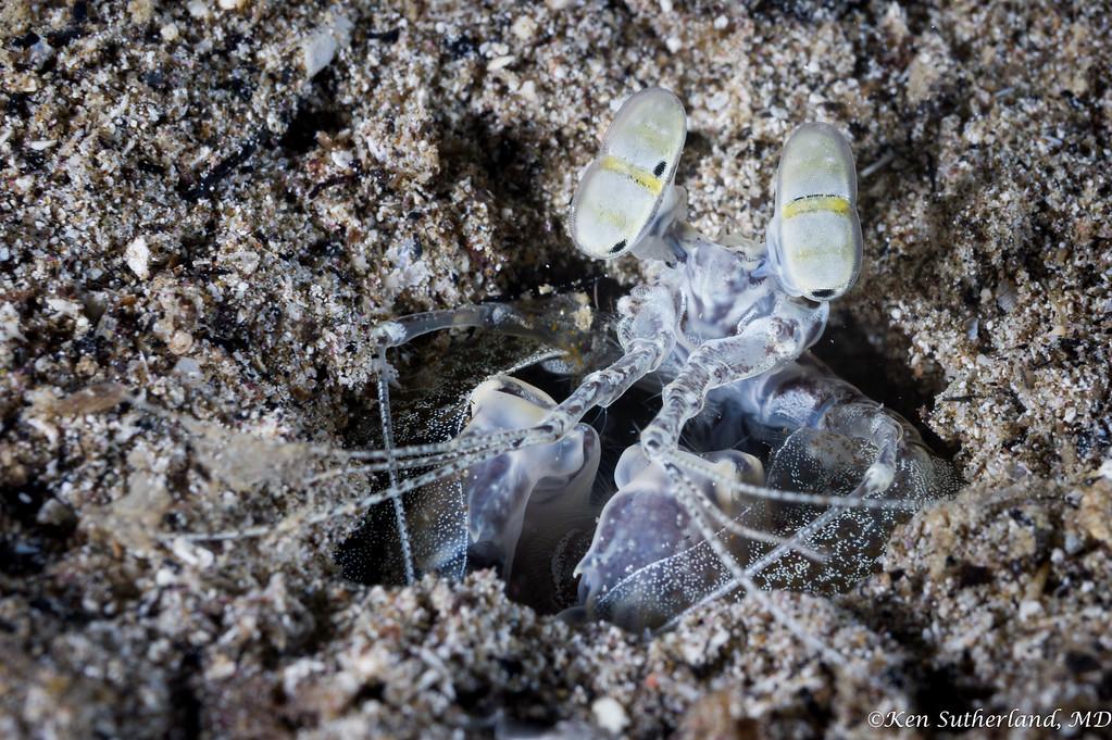 Mantis Shrimp eyes