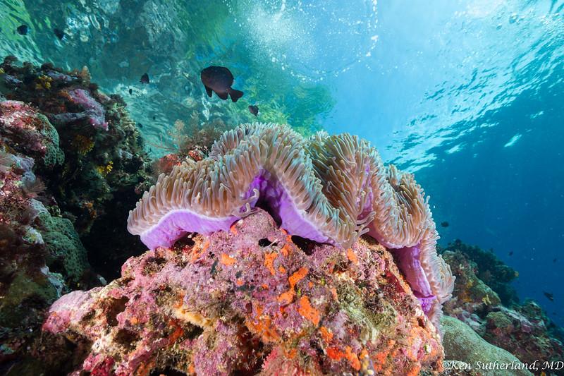 Purple Anemone and Damselfish