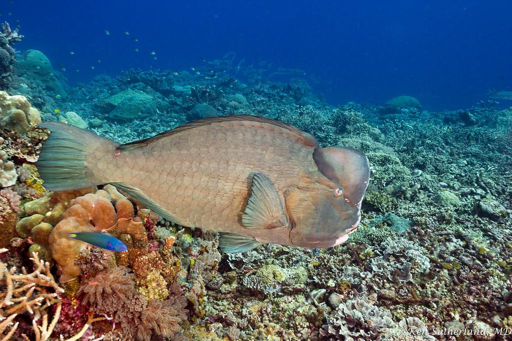 Bumphead Parrotfish and Yellowtail Coris