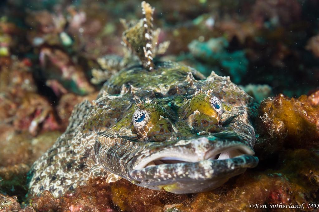 Crocodile fish stare