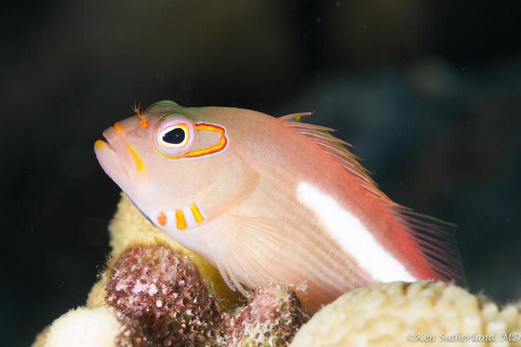Arc Eye Hawkfish