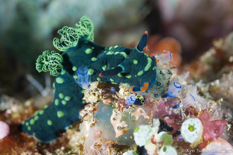 Nembrota Nudibranch and Tunicates