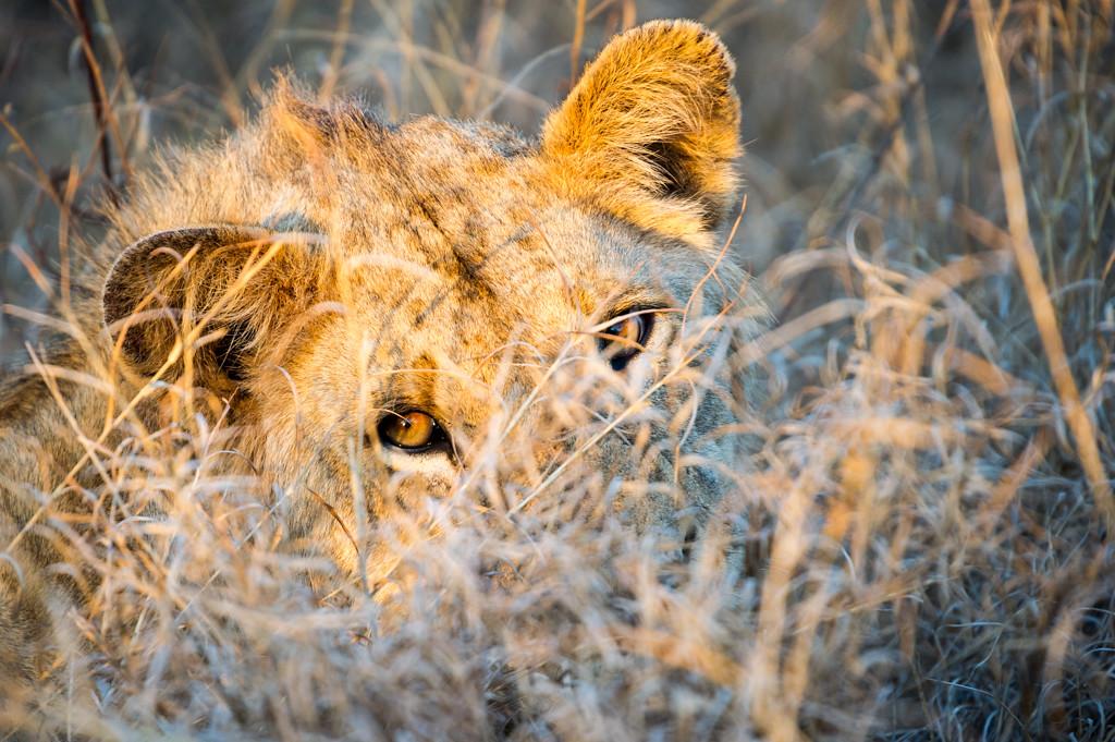 Lioness peering through