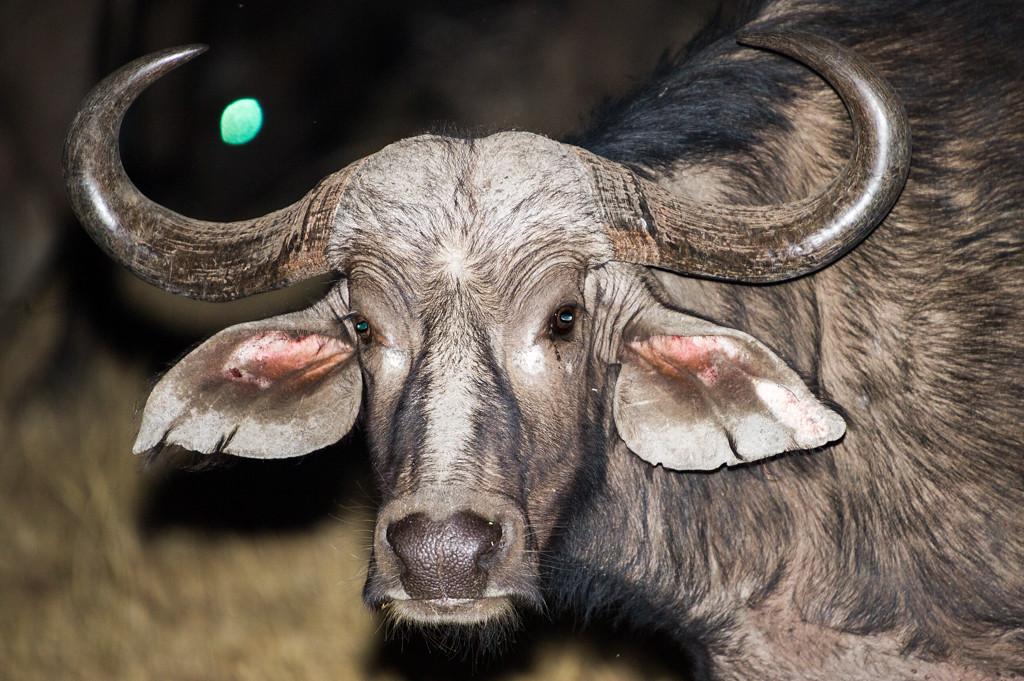 Water buffalo at night