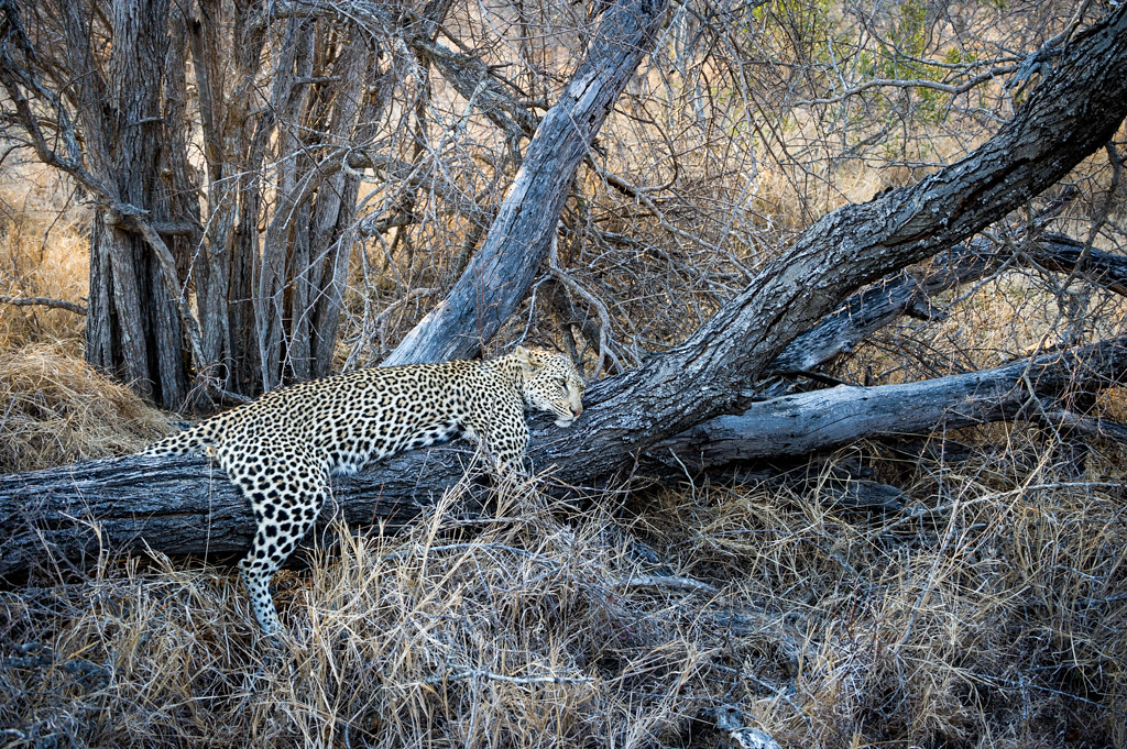 Leopard resting after a meal