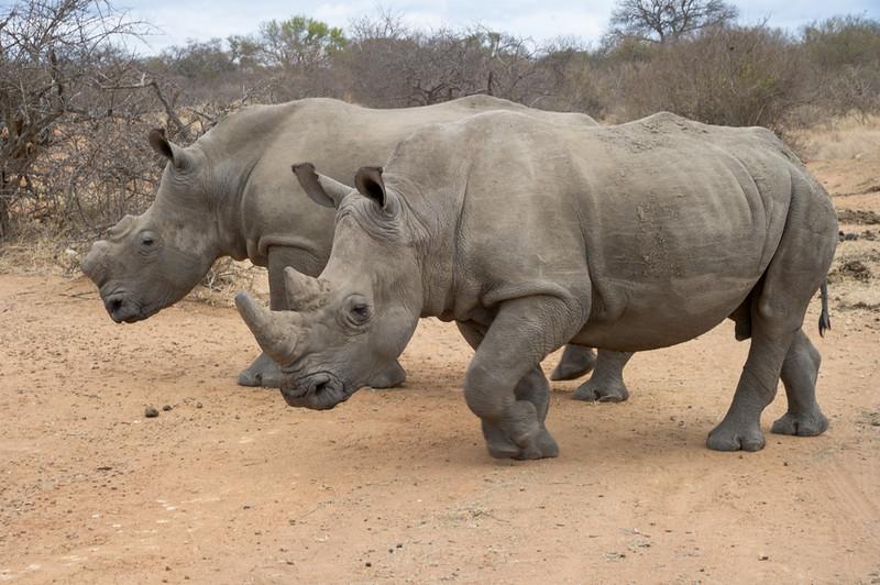 Double Rhinos