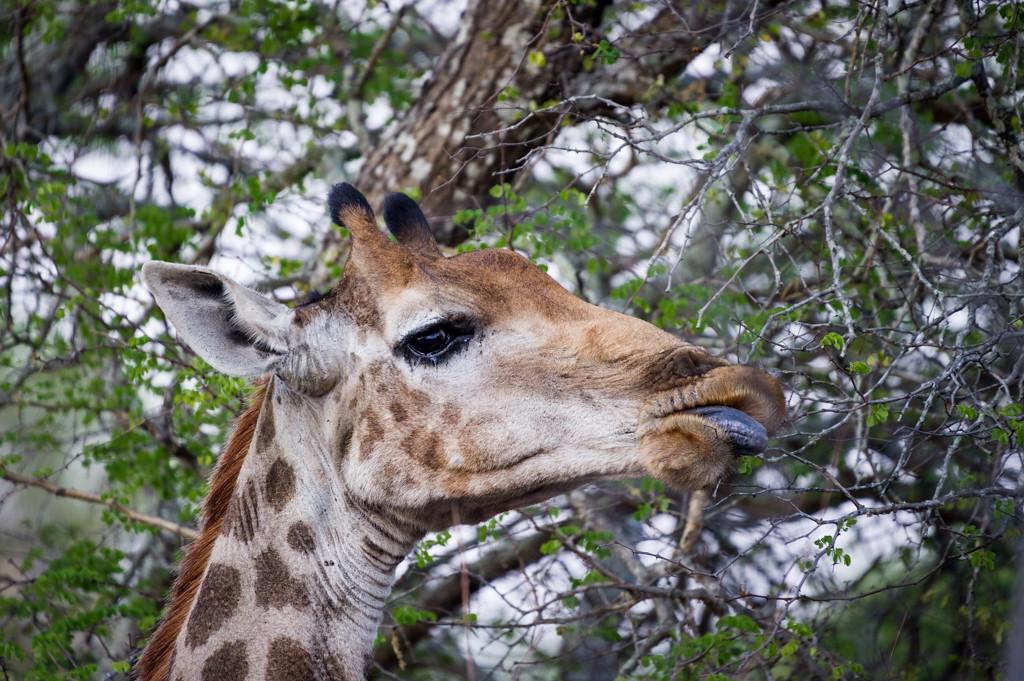 Giraffe chewing on leaves