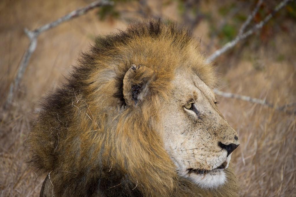 Male Lion Headshot
