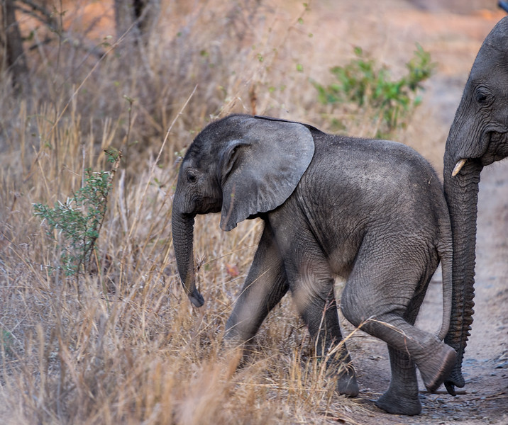Baby elephant with mom pushing him along