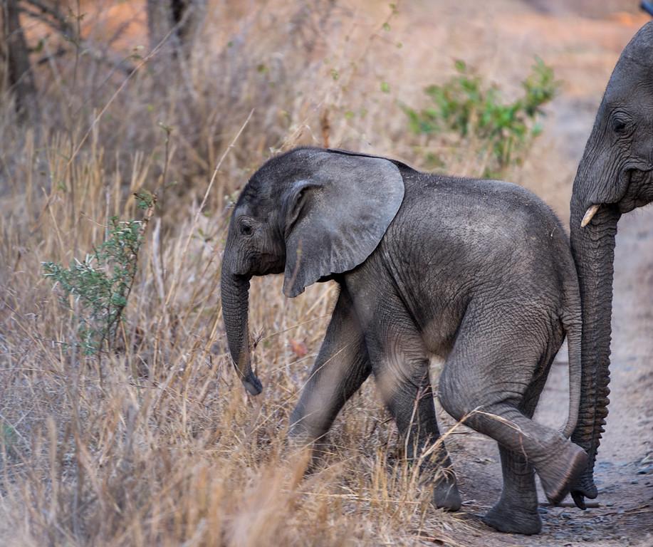 Baby elephant with mom pushing him along