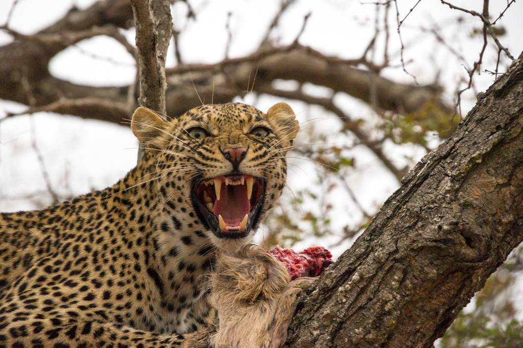 Leopard having a meal