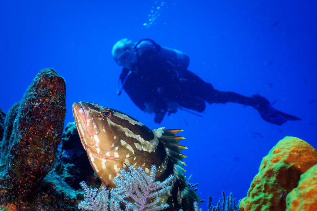 Nassua Grouper and diver