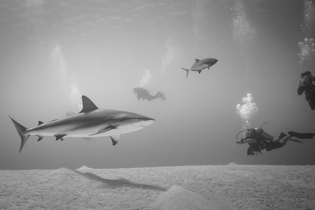 Reef Shark and divers