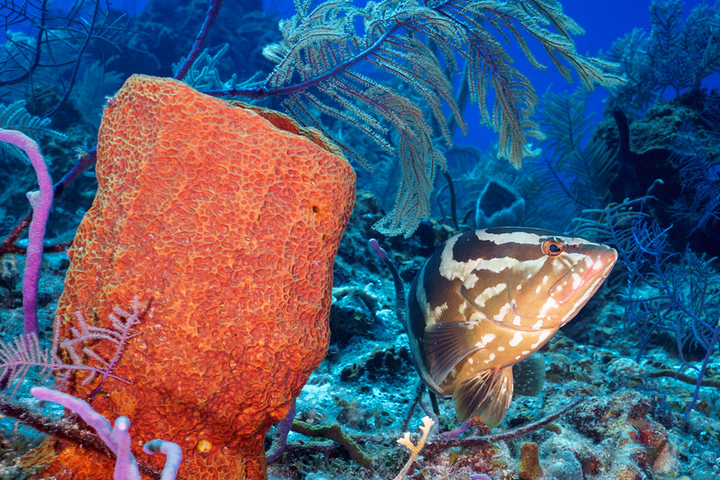 Nassau Grouper and Sponge
