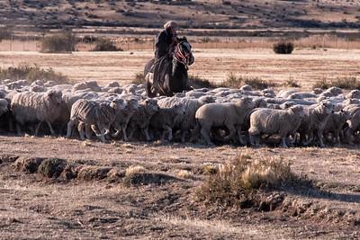 Gaucho Herding Sheep